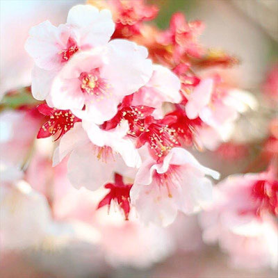 <s20-164>akane_yuhiさん:きれいな桜に癒される/4月10日(金)/日本平
