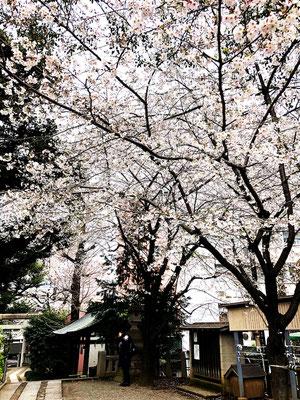 <s20-073>アジフライさん:咲きました/3月31日(火)/世田谷区