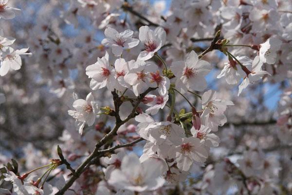 〈s20-033〉千囃連さん:こんな時期だからこそ美しい桜を写真で!/3月24日(火)/千葉県佐倉市 佐倉城址公園