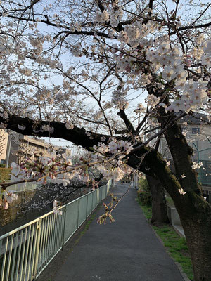 〈s20-027〉Katsuさん:神田川の桜/3月22日(日)/杉並区高井戸 神田川