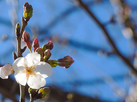 〈s20-004〉b'さん:やっと春が来た.2/3月19日(木)/埼玉県新座市