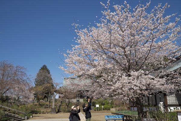 〈s20-056〉nanumotoさん:この木のように大きくなあれ/3月24日(火)/松戸市本土寺