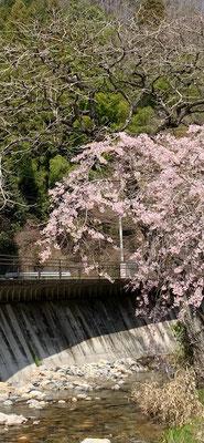 <s20-096>トッキーさん:川沿いに咲く桜/4月2日(木)/茨城県横川温泉