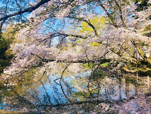 〈s20-167〉まさまささん:桜満開 早朝6:00/4月4日(土)/井の頭公園