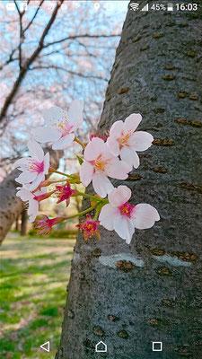 〈s20-147〉たかたんさん:ひょっこり桜/3月29日(日)/清久桜通り