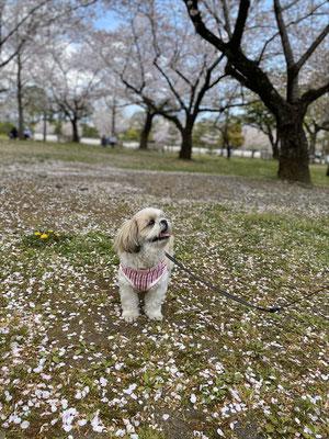 <s20-130>まりりんさん:愛犬と桜/4月11日(土)/駿府城公園