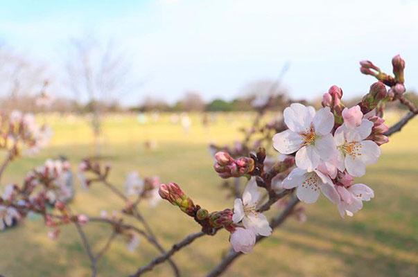 〈s20-035〉tabi2018nohohonさん:国営昭和記念公園にて。/3月21日(土)/東京都立川市