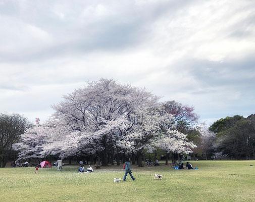 〈s20-055〉nanumotoさん:桜 満喫/3月27日(金)/柏の葉公園/自粛なので人があまりいなかったけど、それなりにきれいな桜を見れました