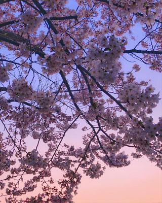 <s20-155>amyko_oさん:ゆうぐれさくら。/4月9日(木)/佐渡