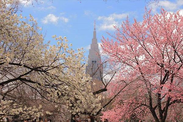 〈s20-011〉eiji_331さん:卒業式 ~桜の横断幕~/3月15日(日)/新宿御苑