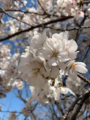 〈s20-006〉中嶋克彦さん:桜いろいろ/3月19日(木)/新宿御苑