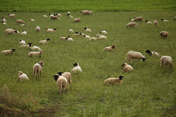 Schafe von Gut Giesenhagen zur Weidepflege in Fahrenbach. Quelle: Kulturfabrik e.V. medienWERK, Eschwege