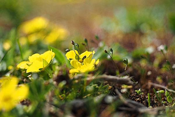 gelbe Wiese