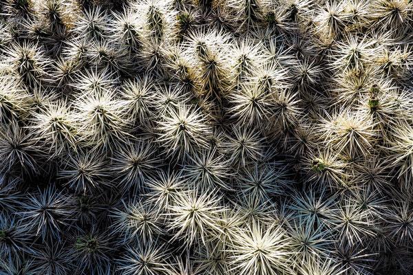 weißer Kaktus