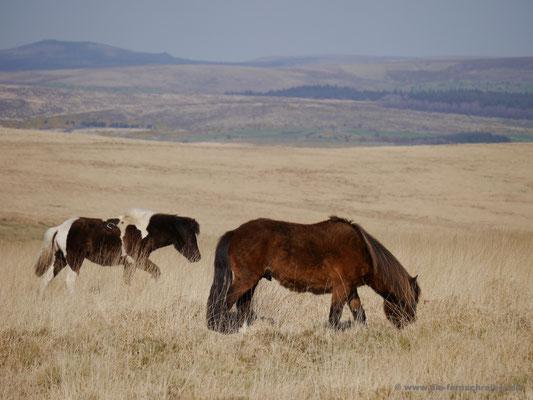 Ponys vor toller Kulisse