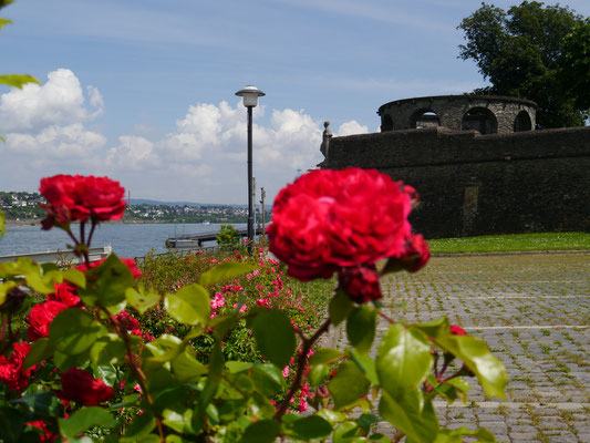Bollwerk Andernach hinter Rosenblüten