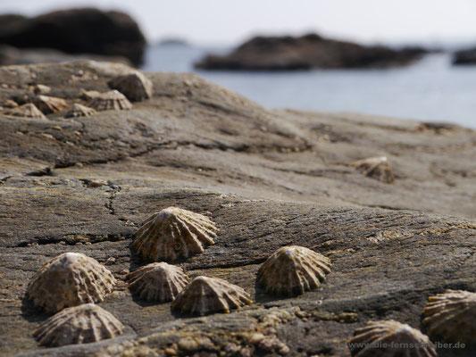 Festgesaugte Muscheln auf den Felsen
