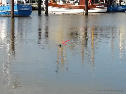 ... bis der Seehund im Hafenbecken auftaucht...