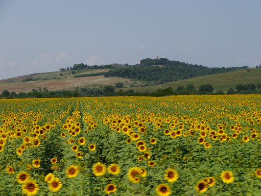 Fahrt durch endlose Sonnenblumenfelder