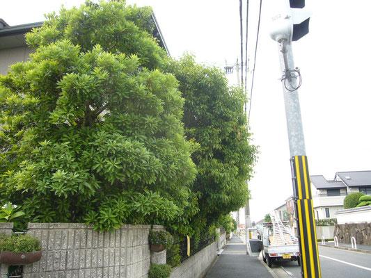 植木の剪定作業前 奈良県北葛城郡広陵町