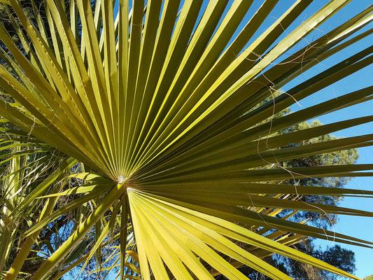 - eine sehr schöne Palme
