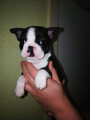 Remus 6 Wochen alt