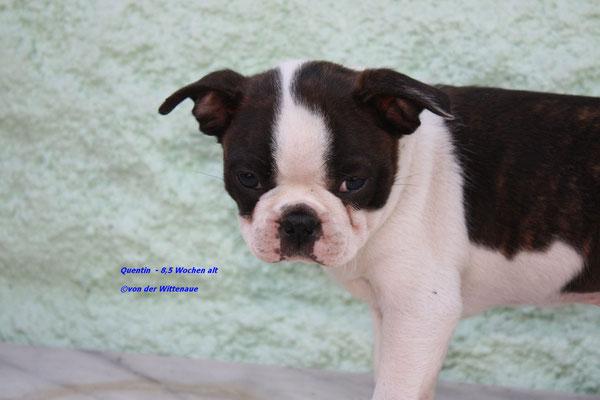 Quentin 8,5 Wochen alt