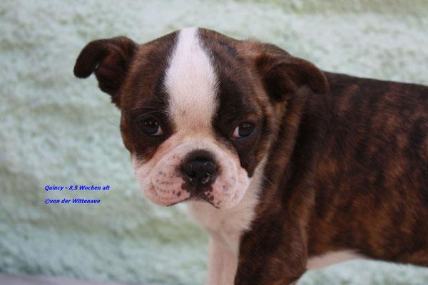 Quincy 8,5 Wochen alt