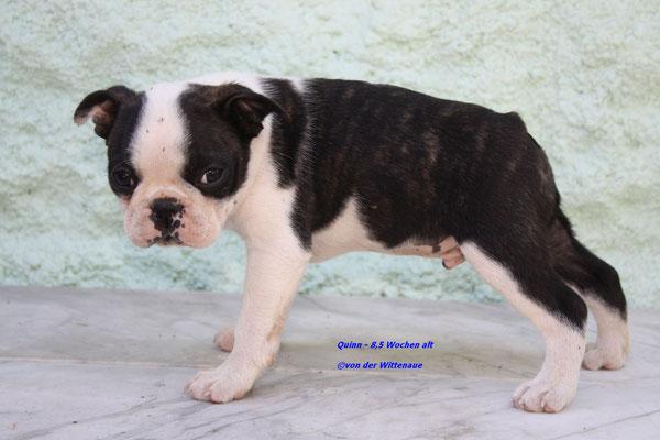 Quinn 8,5 Wochen alt