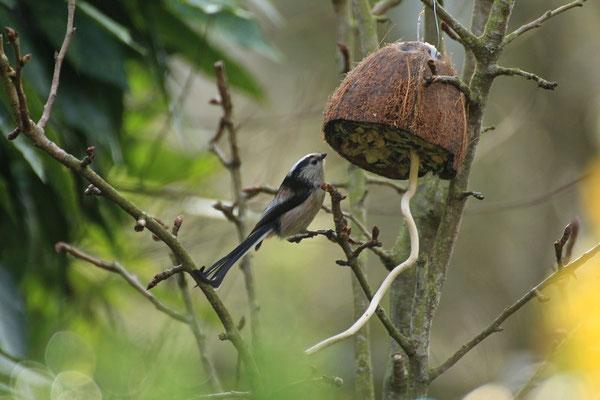 Und hier in Action - sehr sehr beliebt (nicht nur bei Vögeln - die Eichhörnchen sind auch ganz scharf auf den leckeren Inhalt)