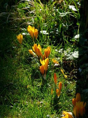 Orange Krokusse am Bauerngartenzaun