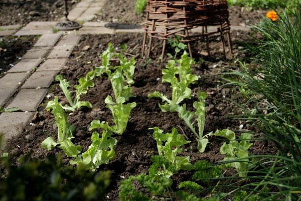 frisch gepflanzter grüner Eichblattsalat