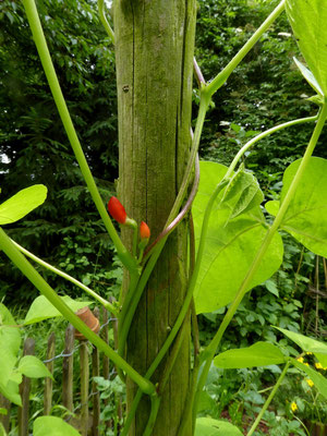 Bald blühen die Stangenbohnen