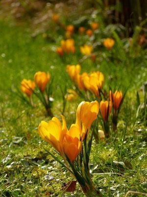 Orange Krokusse in der Sonne