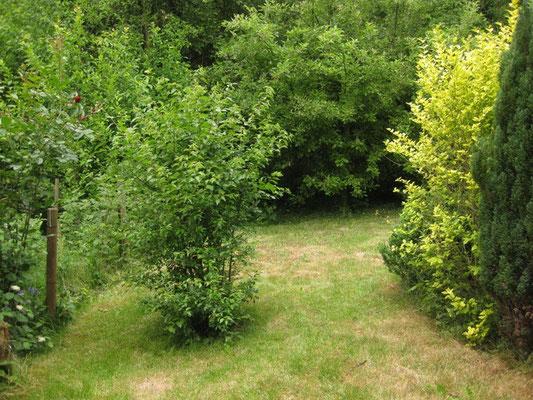 Dieser vermeintliche Busch ist ein Mirabellenbäumchen