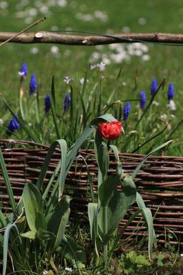 Tulpe vor Traubenhyazinthen
