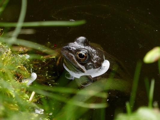 Da sind sie wieder, meine Froggies