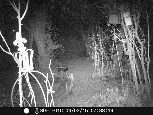 Fuchs auf Nachtstreife