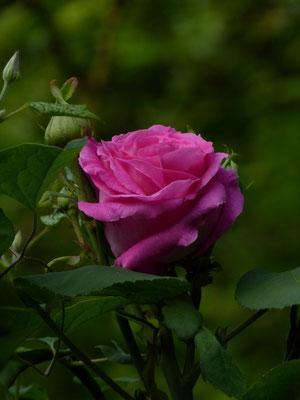 Diese Schönheit ist mir erst Abends aufgefallen. Sie ist die erste Rose, die auf meinem Rosenbogen blüht.