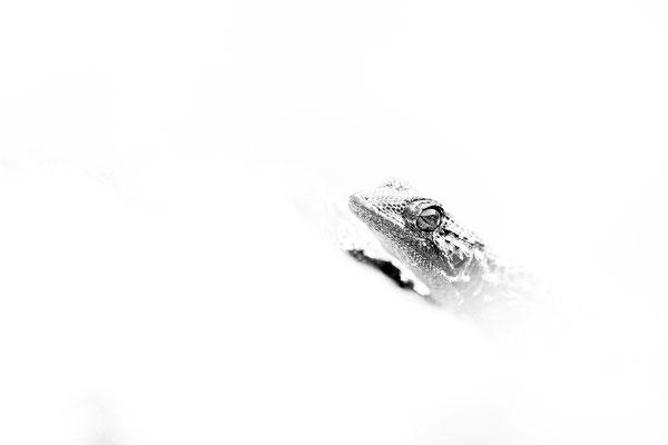 Salamanquesa común. Tarentola mauritanica