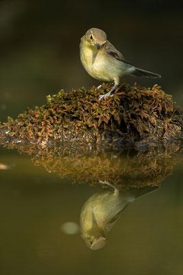 Mosquitero común/musical. Phylloscopus ibericus/trochilus