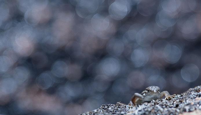 Lagartija colilarga. Psammodromus algirus
