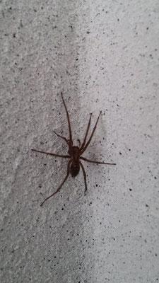 ...und im Haus :-) (wir töten keine Tiere vor den Kindern! Diese Spinne wurde lebend nach draußen entsorgt. Aber zuerst konnten die Kinder sie beobachten. Wie viele Beine hat eine Spinne?)