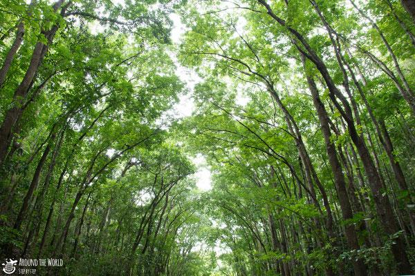 Bohol Man-made Forest  |aroundtheworldstepbystep.com