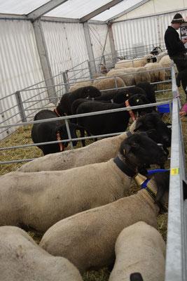 Rassenschau Schafe