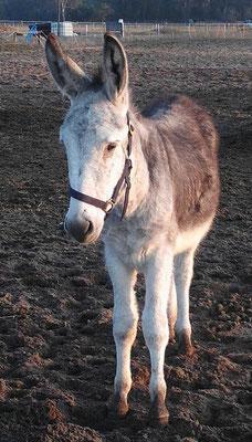 Wir suchen noch für unseren  Esel Luk eine ruhige  Pflegebeteiligung, die ihn noch viel beibringen kann, da er erst 1 Jahr als ist. Später auch eine Reitbeteiligung möglich.