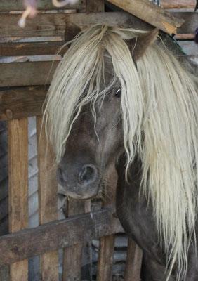 Zirkon ist ein bildhübscher Shetty Wallach mit kleinem Sturkopf. Er ist eingeritten und eingefahren.