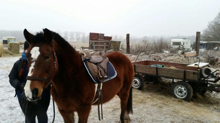 Baika ist eingefahren und eingeritten. Sie ist ein sehr feines Pferd und braucht ihre Zeit, sie ist aber bei der Arbeit fleißig und willig.