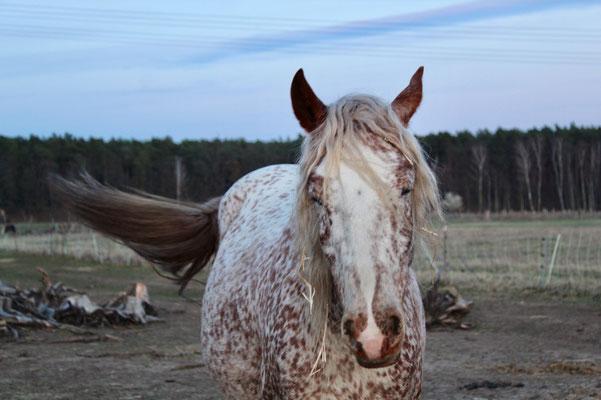 Unsere Kasina ist eine super Zuchtstute und wird von unserer Pferdetrainerin Kristin Geritten.