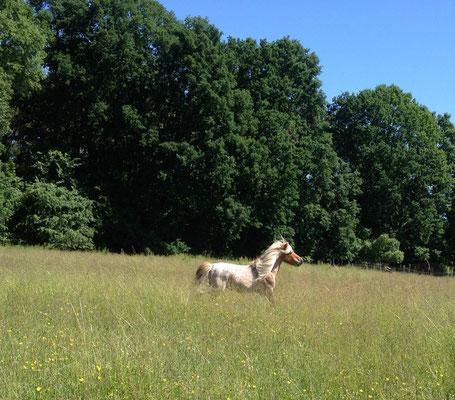 Unser Latsch war  ein super Deckhengst und hat wunderschöne Fohlen gebracht, im Umgang war er super lieb und willig. Er ist leider letztes Jahr (2016) von uns gegangen.